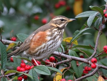 Redwing - http://www.bbc.co.uk/staticarchive/ce3cd0beac24186666bee91e279da9ecaecd0321.jpg
