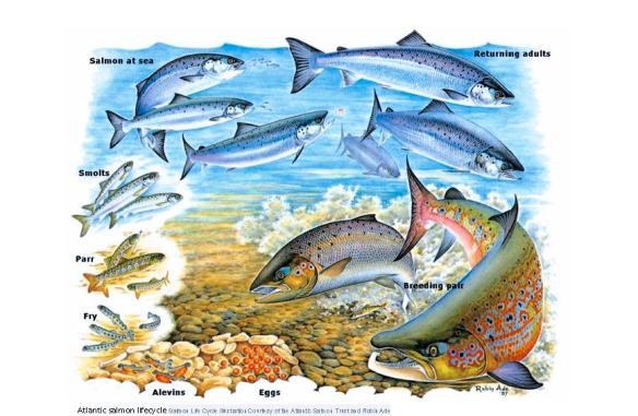 Atlantic salmon lifecycle - http://www.nasco.int/atlanticsalmon.html