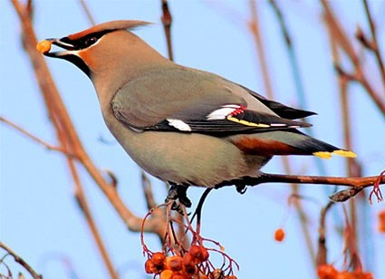 Waxwing - http://www.allaboutbirds.org/guide/PHOTO/LARGE/bohemian_waxwing_sim_3.jpg