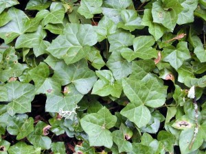 Young ivy plant - http://www.kingcounty.gov/environment/animalsAndPlants/noxious-weeds/weed-identification/english-ivy.aspx