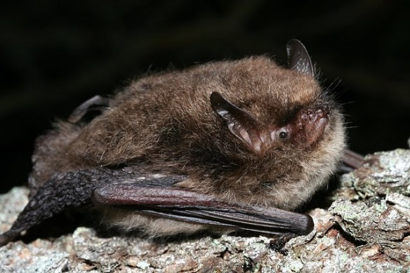 Alcathoe Bat http://www.bats.org.uk/pages/uk_bats.html