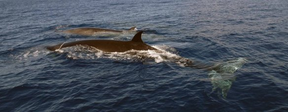 Sei Whale - balaenoptera_borealis-karin_hartman_nova_atlantis_foundation - from http://uk.whales.org/species-guide/sei-whale