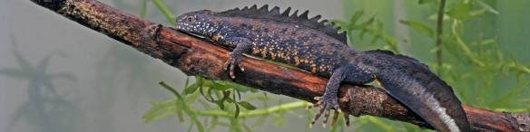 Great crested newt - http://www.adas.uk/Service/edna-analysis-for-great-crested-newt
