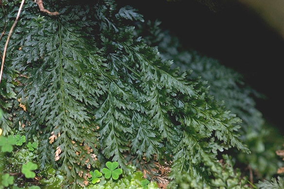 Killarney fern http://www.british-wild-flowers.co.uk/T-Flowers/Trichomanes%20speciosum.htm