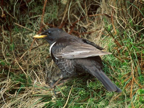 Natural heritage at risk - Ring Ouzel - copyright John Knight