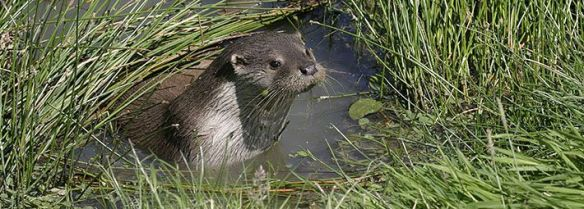 European otter http://www.northyorkmoors.org.uk/discover/rivers/wildlife-on-the-river/otter