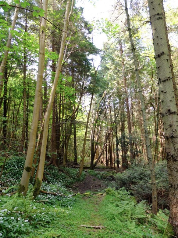 Natural heritage at risk - Plantation on Ancient Woodland Site - copyright NYMNPA