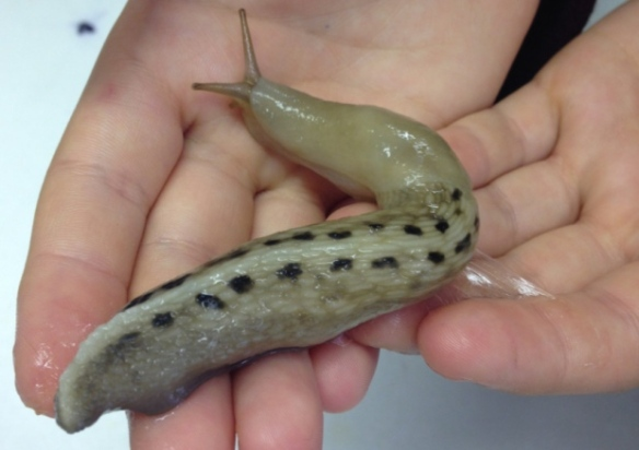Fylingthorpe Slug - from Whitby Gazette 3 October 2014
