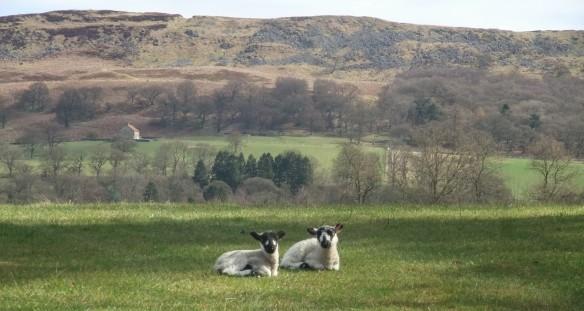 New lambs near Hawnby - copyright Ami Walker, NYMNPA
