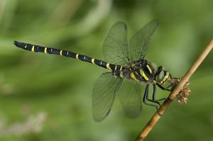Female adult golden-ringed dragonfly - from yorkshiredragonflies.org.uk