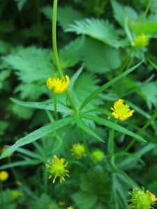 Goldilocks Buttercup - copyright Sam Witham, NYMNPA