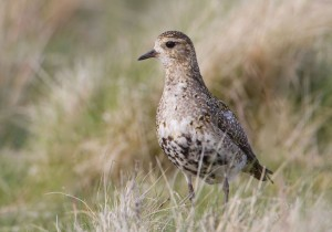 Golden Plover - copyright Mike Nicholas