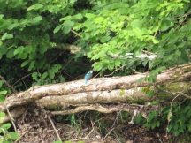 Kingfisher - not the best photo but I was pleased you can tell what it is!! Copright Alex Cripps, NYMNPA.