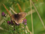 Meadow brown butterfly. Copright Alex Cripps, NYMNPA.