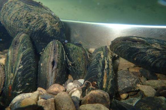 Recently translocated mussels from the Esk now at the FBA Facility - copyright FBA