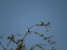 Spotted flycatchers - enjoying the boom of insects by the river. Copright Alex Cripps, NYMNPA.