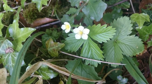 Wild strawberry in flower with Barren strawberry growing right beside it - copyright Roy McGhie, NYMNPA.