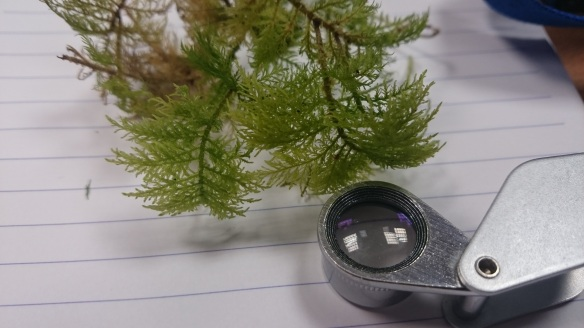 Identifying a bryophyte back in the classroom - copyright Roy McGhie, NYMNPA.