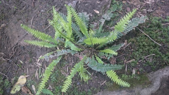 Hard fern (Blechnum spicant) showing the fertile (lighter in colour and more upright) and sterile (darker) fronds on the same plant. Copyright Roy McGhie, NYMNPA.
