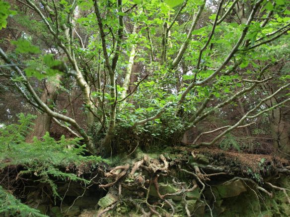 Inside West Arnecliff Wood in 2010 - copyright NYMNPA.