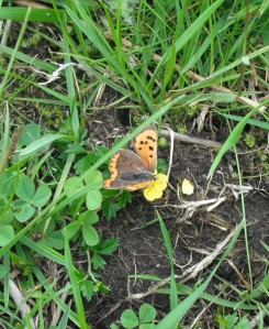 Small copper butterfly - copyright Roy McGhie, NYMNPA.