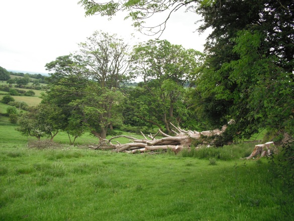 Felled veteran tree with dead wood left in situ (good for invertebrates, fungii and lichens) - copyright Roy McGhie, NYMNPA.