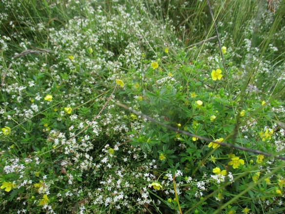 Heath bedstraw and tormentil, indicative of an acidic grassland site - copyright Roy McGhie, NYMNPA.