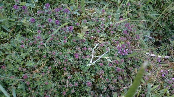 Lots of wild thyme, commonly found on calcareous sites - copyright Roy McGhie, NYMNPA.