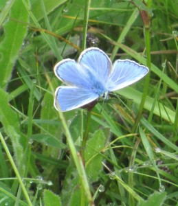 Common blue butterfly - copyright Roy McGhie, NYMNPA.