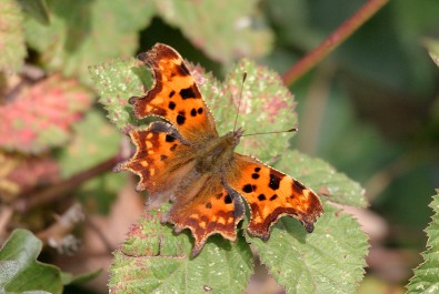 Comma butterfly - copyright NYMNPA.
