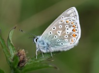 Common Blue butterfly - copyright Tammy Andrews.
