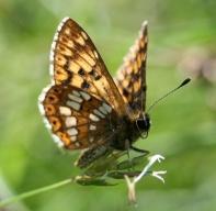 Duke of Burgundy butterfly - copyright Tammy Andrews.