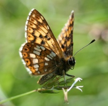 Duke of Burgundy butterfly - copyright Tammy Andrews.