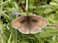 Meadow Brown butterfly - copyright NYMNPA.