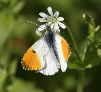 Orange Tip butterfly - copyright NYMNPA.