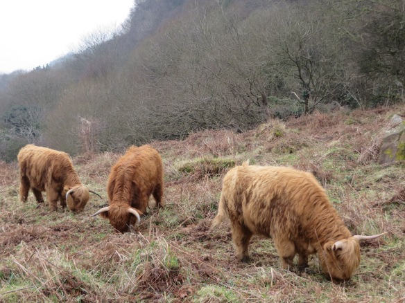 Highland Cattle grazing Common Cliff - copyright NYMNPA.