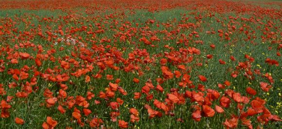 Poppies - copyright NYMNPA.