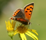 Small Copper butterfly - copyright Tammy Andrews.