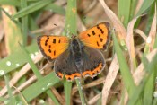 Small Copper butterfly - copyright NYMNPA.
