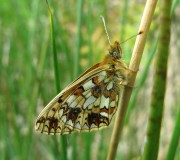 Small Pearl-bordered fritillary, Langdale Forest - copyright NYMNPA.