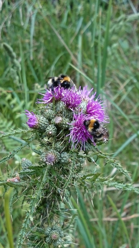 Bumble bees on a thistle - copyright NYMNPA.