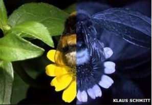 How we see it (left) and how a bee might see it with UV shades visible (right) - Klaus Schmitt.