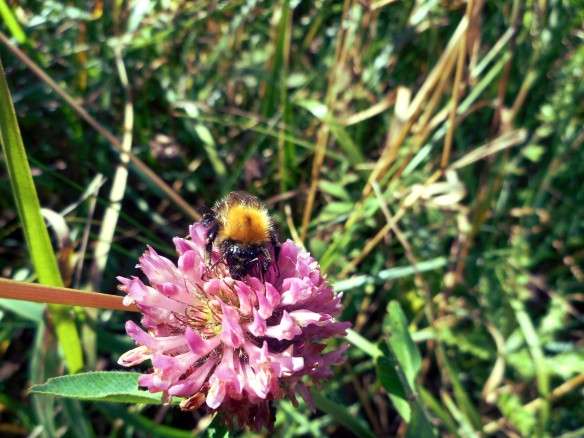 Bee on red clover - copyright NYMNPA.