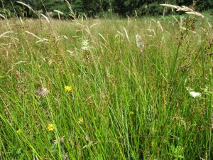 Pasture with sharp flowered rush - Bilsdale. Copyright Kate Bailey, NYMNPA.