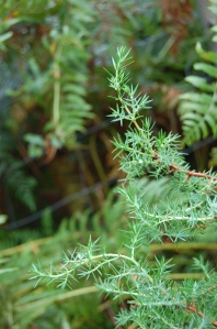Close up of juniper leaves - copyright Alasdair Fagan, NYMNPA.