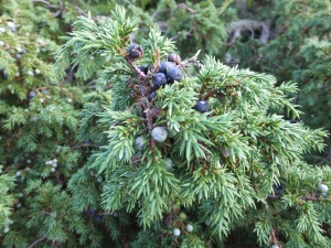 Female juniper with berries - copyright Alasdair Fagan, NYMNPA.