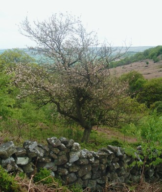 Crab apple tree, Tarn Hole in Tripsdale - copyright NYMNPA