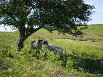 Hawthorn at Dundale, Levisham Moor - copyright NYMNPA