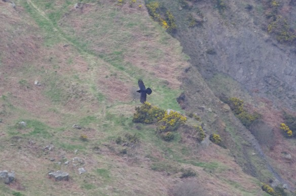 Adult Raven near Ravenscar - copyright Graham Oliver, BTO.