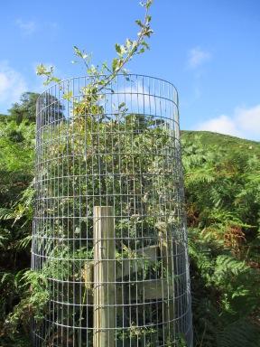 Planted oak tree, Bilsdale - copyright Kate Bailey, NYMNPA